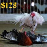 Cara Benar Dalam Merawat Ayam Bangkok Juara Bertarung