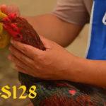 Manfaat Memberikan Bawang Merah Untuk Ayam Bangkok Aduan