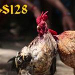 5 Jenis Dan Gaya Tarung Ayam Aduan Pama Kualitas Super