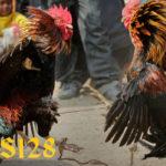 Cara Aman Mengatasi Ayam Aduan Yang Turun Urat