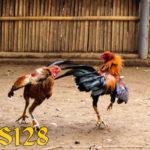 Keunggulan Langka Ayam Aduan Simbar Telak Super