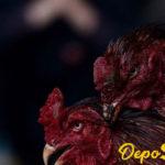 Obat Paling Ampuh Untuk Stamina Ayam Bangkok Aduan