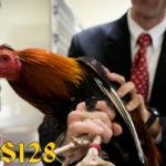 Panduan Ampuh Mengobati Penyakit Kuning Pada Ayam Laga