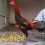 Manfaat Memberikan Tembakau Pada Ayam Aduan Bangkok