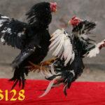 Mengenali Ciri Khas Ayam Pukul Saraf Telak