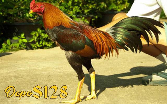 Cara Mudah Meningkatkan Nafsu Makan Ayam Bangkok