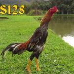 Panduan Dalam Melatih Pertahanan Ayam Aduan Bangkok