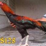 Trik Untuk Membuat Stamina Ayam Aduan Bangkok Tahan Lama