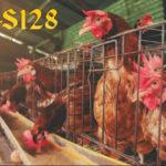 Cara Hemat Membuat Racikan Pakan Ayam Bangkok Aduan