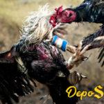 Cara Rahasia Melatih Ayam Bangkok Sekali Pukul Mati
