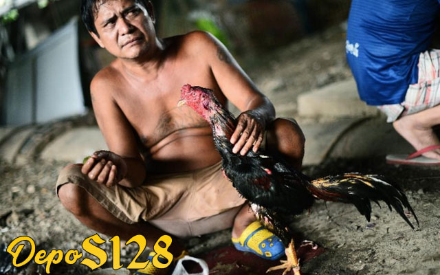 Pakan Ayam Aduan Bangkok Untuk Menjadi Ganas