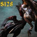 Cara Melatih Ayam Bangkok Aduan Untuk Memperkuat Pukulan