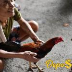 Cara Merawat Ayam Aduan Yang Terluka Setelah Bertarung