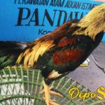 Informasi Ayam Aduan Pama Berkualitas Dan Gaya Bertarung