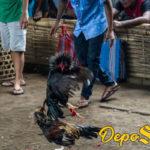 Penyebab Utama Ayam Bangkok Sering Drop Turun Mental