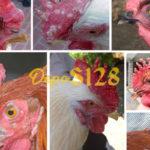 Tips Untuk Mengobati Kutil Yang Ada Pada Ayam Aduan