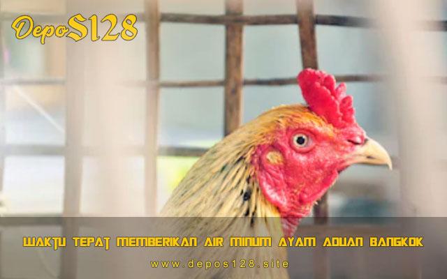 Waktu Tepat Memberikan Air Minum Ayam Aduan Bangkok