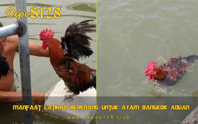 Manfaat Latihan Berenang Untuk Ayam Bangkok Aduan