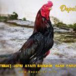 Cara Membuat Jamu Ayam Bangkok Agar Panjang Nafas