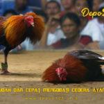 Cara Mudah Dan Cepat Mengobati Cedera Ayam Aduan