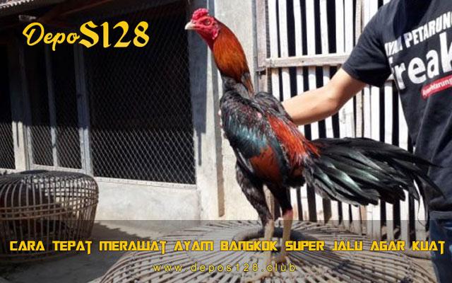 Cara Tepat Merawat Ayam Bangkok Super Jalu Agar Kuat