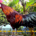 Ciri Fisik Dan Cara Budidaya Ayam Pelung