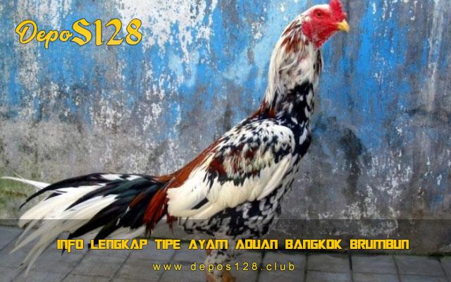 Info Lengkap Tipe Ayam Aduan Bangkok Brumbun