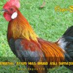 Mengenal Ayam Hias Brugo Asli Sumatera