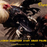 Cara Latihan Kecepatan Ayam Aduan Paling Ampuh