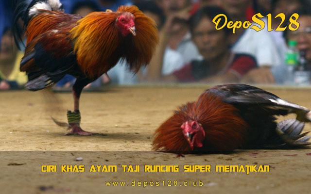 Ciri Khas Ayam Taji Runcing Super Mematikan