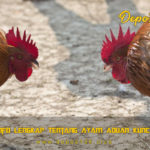 Info Lengkap Tentang Ayam Aduan Kuncir