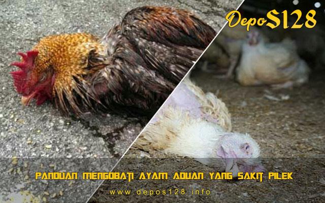 Panduan Mengobati Ayam Aduan Yang Sakit Pilek