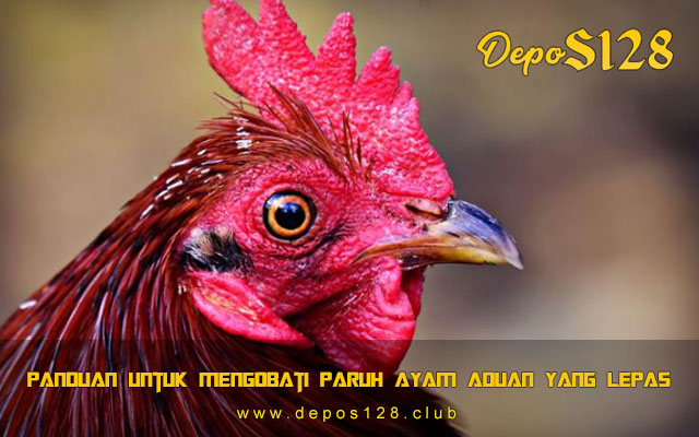 Panduan Untuk Mengobati Paruh Ayam Aduan Yang Lepas