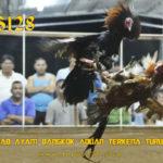 Penyebab Ayam Bangkok Aduan Terkena Turun Urat