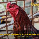 Cara Aman Dalam Mengobati Ayam Bangkok Yang Keracunan