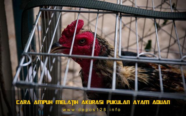 Cara Ampuh Melatih Akurasi Pukulan Ayam Aduan