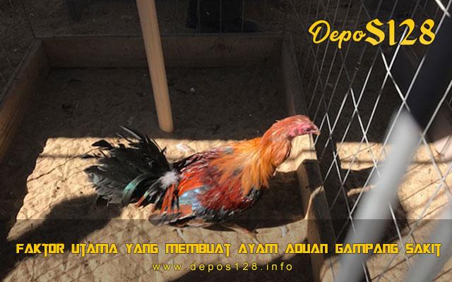 Faktor Utama Yang Membuat Ayam Aduan Gampang Sakit