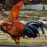Alasan Mengapa Sabung Ayam Bangkok Aduan Sangat Terkenal