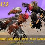 Cara Membuat Jamu Untuk Napas Ayam Bangkok Panjang