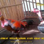 Info Lengkap Tentang Sabung Ayam Aduan Vietnam