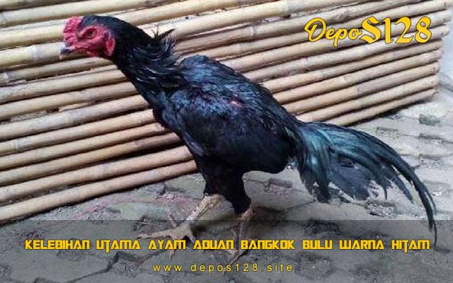 Kelebihan Utama Ayam Aduan Bangkok Bulu Warna Hitam