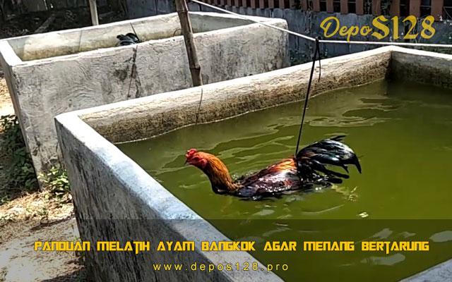 Panduan Melatih Ayam Bangkok Agar Menang Bertarung