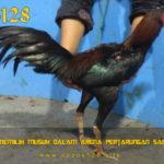 Panduan Memilih Musuh Dalam Arena Pertarungan Sabung Ayam