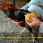 Panduan Untuk Menyembuhkan Sayap Ayam Aduan Bengkak