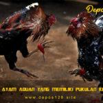 Ciri Ayam Aduan Yang Memiliki Pukulan Keras