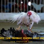 Faktor Utama Yang Membuat Stamina Ayam Bangkok Kuat