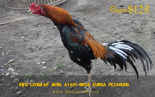 Info Lengkap Jenis Ayam Bima Kurda Petarung