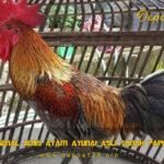 Mengenal Jenis Ayam Ayunai Asli Tanah Papua