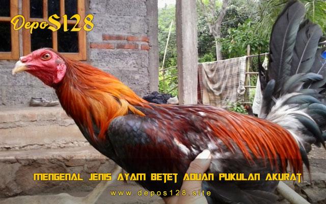 Mengenal Jenis Ayam Betet Aduan Pukulan Akurat