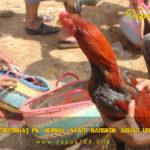 Panduan Membuat Pil Herbal Ayam Bangkok Aduan Untuk Juara